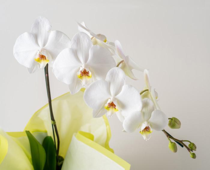 Orquídea Phalaenopsis para Presente, Chocolates e Pelúcia