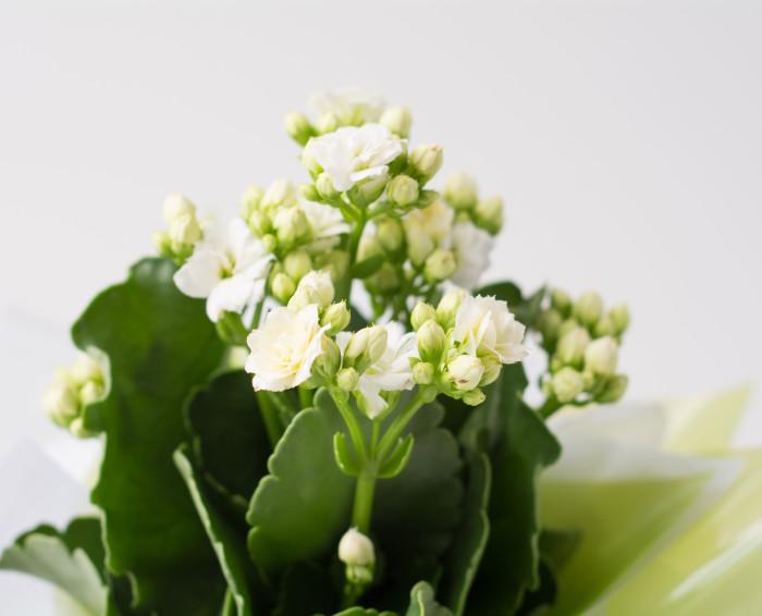 Flor da Fortuna Branca para Presente