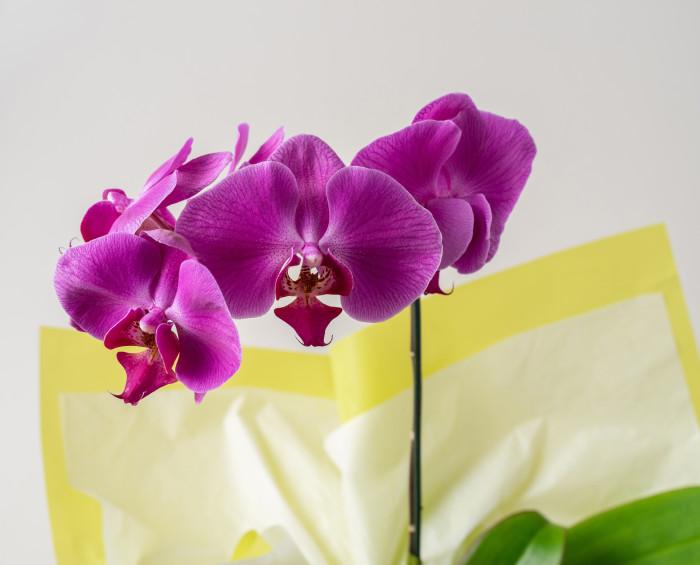 Orquídea Phalaenopsis Pink e Chocolate