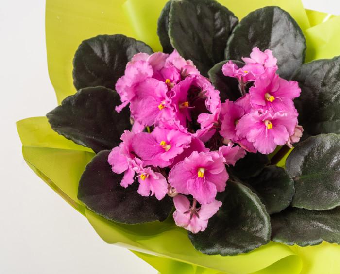 Vaso de Violeta para Presente e Chocolate