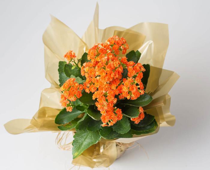 Flor da Fortuna Laranja